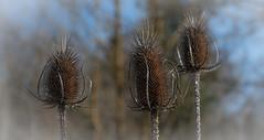 Chardons (balese13) Tags: 100nikon 1855mm aoustrille d5500 indre nikonpassion yourbestoftoday balese nikon nikonistes pixelistes plante 500v20f 1000v40f 1500v60f