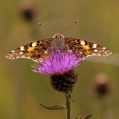 Painted Lady (PeskyMesky) Tags: butterfly paintedlady aberdeen scotland nature insect macro donmouth