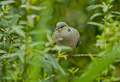 TURTLE DOVE (tony.cox27) Tags: turtle dove