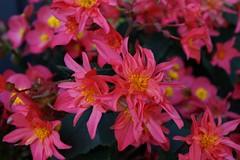 Alm - Blüten (antofeni) Tags: blumen alm allgäu