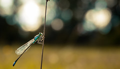 Blue Dragonfly (maderavassili) Tags: dragonfly proxy nature insect day plant