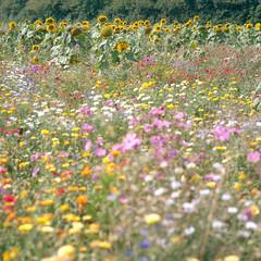 (Andrew :-)) Tags: bronicasqa zenzanons150mm35 kodakportra160 mediumformat 120 6x6 sunflowers wildflowers