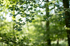HBW 36/2019: green forest (Frau Koriander) Tags: forest wald woods mörfeldenwalldorf mönchbruch nature natur lindensee leaf leaves blatt blätter hbw happybokehwednesday bokehwednesday bokeh dof depthoffield light licht nikkore100mmf28 summer sommer