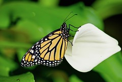 Monarch resting on a Calla Lilty! (ineedathis, Everyday I get up, it's a great day!) Tags: monarch danausplexippus newborn butterfly life insect greenfly πεταλουδα wings λεπιδοπτερα lepidoptera love male closeup nature callalily flower summer garden nikond750 bokeh
