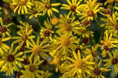 Flowers (HRLM&TS Photography) Tags: nederland holland drenthe natuur nature bloemen bloem geel yellow flower flowers pentaxk1markii pentax