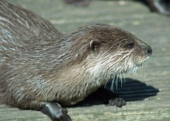 Asian short clawed otter (Tony Worrall) Tags: animal beast otter wet damp creature zoo kept cute whiskers item stock buy sell sale photohour photos animalphotography fur furry ilobsterit instagram forsale thing nice north asian lancashire asianotter life wild wildlife visit watch claws short