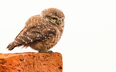 Spotted Owlet (Rajiv Lather) Tags: vögel vogelstand owls owlet birds birding outside nature wildlife birder image pics photos photograph photography spottedowlet aves avifauna avian