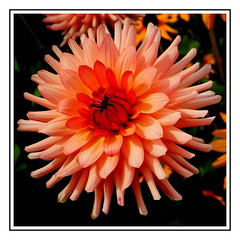 Dalia. (andrzejskałuba) Tags: poland polska pieszyce dolnyśląsk silesia sudety europe plant plants pomarańczowy orange macro natura nature natural natureshot natureworld nikoncoolpixb500 naturephotographer nopeople day dahlia dalia zieleń green garden ogród flower flora floral flowers kwiat kwiaty outdoor zachódsłońca summer sunset color cień czerwony colour roślina red różowy pink shadow beautiful beauty beautyofnature 100v10f 1000v40f 1500v60f