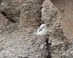 Fulmar (rockwolf) Tags: fulmar fulmarusglacialis seabird fulmarboréal bird oiseau cliffs nesting newquay cornwall 2019 rockwolf