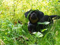 Charlie in the Wild (Mulewings~) Tags: hikingwithcharlie charlie awesomecreek creekhike littledog blackandtan pekenhund shortdog