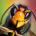 Avispa asiática (Explored)