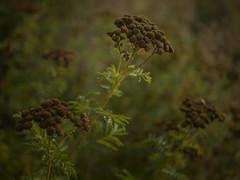 Summerday (II) - Fading away (Maximilian Busl) Tags: plant flower bayern deutschland decay hasselblad tansy 500cm leupoldsgrün cfv50c