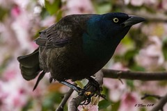 IMG_9571 grackle (starc283) Tags: starc283 bird birding nature wildlife canon grackle common flickr flicker naturesfinest naturewatcher
