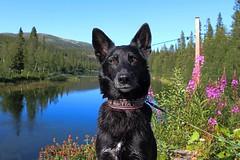 Lake 01 (Irmzaq photography) Tags: nature naturephotography photography jämtland fjäll mountain sky forest blackdog dog dogphotography