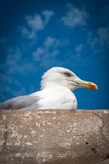 Goéland à Essaouira (chilirv1) Tags: maroc morocco goéland seabird seagull gull oiseau pêche pecheurs bateaux