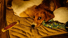 Lulu & Friends (DDM Imaging) Tags: puppy dog dogs toys beagle pet pets family children love camera sony a7ii a7m2 play sleep friends home photo photos photography photographs fun funtimes sleepy