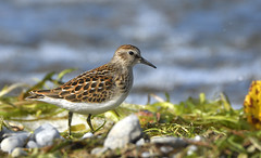 Least Sandpiper (hd.niel) Tags: leastsandpiper sandpipers shorebirds peeps migration lakeontario birds nature photos wildlife photography nikon7200 nikkor80400 kingston