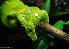 Emerald Tree Boa (KRHphotos) Tags: snake wildlife baltimore maryland nationalaquarium nature