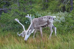 Reindeer (Irmzaq photography) Tags: reindeer jämtland sweden nature photography naturephotography wildanimal forest animalphotography animal wildanimalphotography ren reindeerhorns