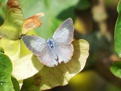 Celastrina argiolus Holly Blue (cawthraw) Tags: celastrinaargiolus hollyblue rspb labradorbay devon