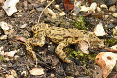 Common Toad (Bufo bufo) (Sky and Yak) Tags: common toad bufo bufobufo amphibian uk wart herp nature natural garden wiltshire