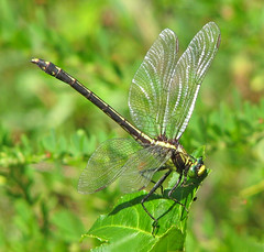 Black-shouldered spinyleg - female (Dromogomphus spinosus) (Vicki's Nature) Tags: blackshoulderedspinyleg female big dragonfly clubtail dromogomphusspinosus greeneyes obelisking vickisnature biello georgia canon s5 1354