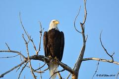 September 2, 2019 - A regal bald eagle in Adams County. (Ed Dalton)