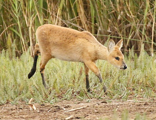 young chinese water deer