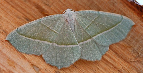 light emerald - Campaea margaritata