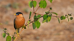 Brahminy Starling (Anuj Nair) Tags: ©anujnair sturnuspagodarum brahminystarling westernghats india starling bird