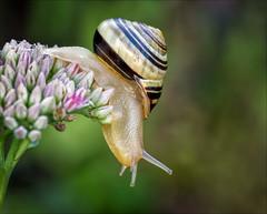 The Ring (Kathy Macpherson Baca) Tags: invertabrate snail shell macro garden slug slime earth nature escargo world slow planet wildlife trail mollusk crawl