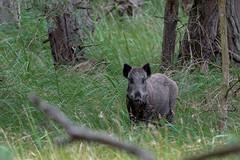 Bache (naturgucker.de) Tags: ngidn1543833806 susscrofa wildschwein