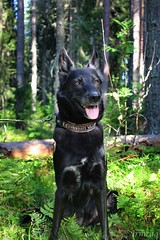 forest (Irmzaq photography) Tags: nature naturephotography photography dog dogphotography blackdog shepherdmix forest