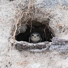 ''Maison de sable!'' Hirondelle de rivage-Bank swallow (pascaleforest) Tags: house maison canada quebec côtenord faune wildlife wild nature nikon passion aninal bird oiseau