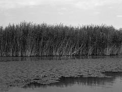 Reeds of Skadar  (MF Pro400H) (Harald Philipp) Tags: reeds grasses lake skadar montenegro pentax 645n 645nii monochrome blackandwhite film colorfilm pro400h mediumformat 120 mittelformat