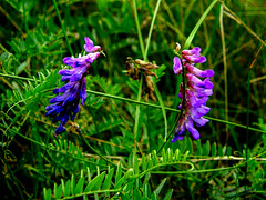 Flowers (In the Forest) (galterrashulc) Tags: latvia riga jugla rīga latvija lettland flora nature flowers green grass summer meadow irina galitskaya galterrashulc