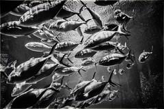 Themed shot for the group 'Flickr Lounge' (Melindros1152) Tags: blackwhite fish atlantisresort flickrlounge weeklytheme aquarium schooloffish