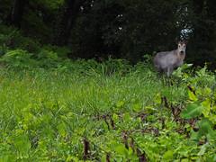 looking back, there it is! (murozo) Tags: animal japanese serow green leaf tree yurihonjo akita japan 動物 カモシカ 緑 木 葉 草 由利本荘 秋田 日本