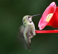 Hummingbird at feeder (D70) Tags: northgaliano britishcolumbia canada hummingbird feeder sigma 150600mm f563 contemporary tc1401 teleconverter nikon d750 ƒ90 8500mm 1160sec iso400