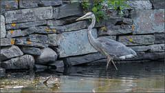 (c)WMH_2019_09_01 Great Blue Heron (WesleyHowie) Tags: birds canada dartmouth greatblueheron heron location municipalpark novascotia sullivanspond wildlife