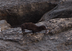 Mink with Fish Burloak Park (Zoom) (JP Newell) Tags: mink fish lakeontario burlington burloak park nature lake ontario
