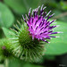 Common Burdock - Bardane mineure