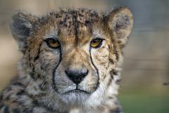 Another cheetah portrait (Tambako the Jaguar) Tags: cheetah big wild cat male close portrait face calm looking lying resting relaxing basel zoo zolli switzerland nikon d850