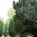 Church of St Andrew, Nuthurst, West Sussex - churchyard yew trees