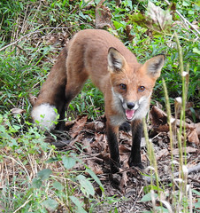 Good Morning (annette.allor) Tags: red fox