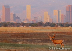 September 3, 2019 - A deer buck standing guard in front of the Mile High City. (Bill Hutchinson)
