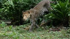 Léo part ! .... (comvenditelli) Tags: leopard léopard felin félin cat wild jungle