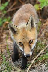 Fox looking in the hide window. (robin elliott photography) Tags: fox animal wild wildlife outdoors nature