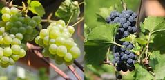 Harvest time (Pierre♪ à ♪VanCouver) Tags: garden vancouver ぶどう raisin muscat grape grapes uva druiven jardin