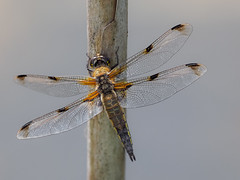 Chaser (bredmañ) Tags: libellulaquadrimaculata chaser fourspotted dragonfly insect nature wild wildlife uk britain handheld naturallight macro closeup fourspottedchaser olympus em1mkii 3004